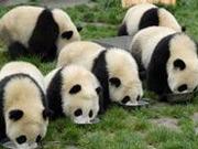 震后首批大熊猫重返家乡